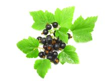 Black currant. With leaf on white background. Isolated royalty free stock image