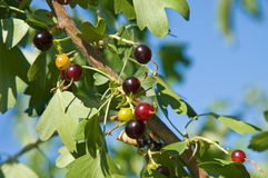 Black-currant Royalty Free Stock Photography