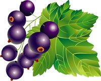 Black-currant vector illustratie