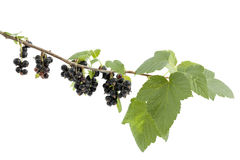 Black currant. Bunch black currant with leaf on branch Stock Images