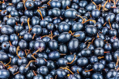 Black currant. Placer of fresh black currant Stock Image