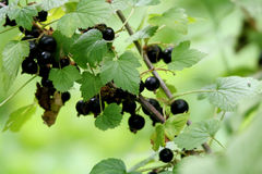 Black currant Royalty Free Stock Photography
