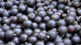 Black currant stock video
