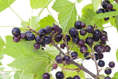 Black currant berries Royalty Free Stock Photography