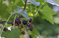 Black currant berries on a branch. On a green backgroundnn stock images