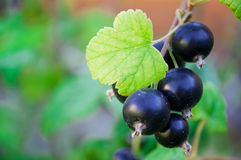 Black currant berries on a branch. With leaves royalty free stock image