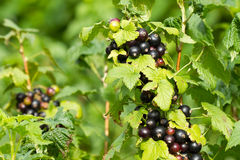 Black currant berries Stock Images
