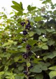 ..black currant berries hang on a branch in the garden. tasty berry stock photography