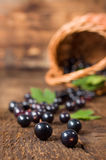 Black currant berries spill out of the basket Royalty Free Stock Photo