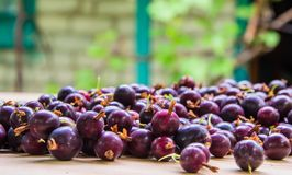 Black currant berry background. A lot of black currant Royalty Free Stock Images