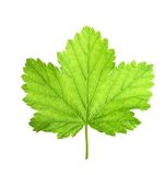 Black currant berry leaf Royalty Free Stock Image