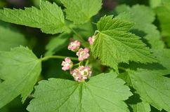 Black currant blooms in the garden Royalty Free Stock Photo