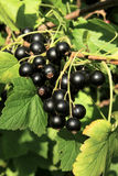 Black currant branch Stock Photos