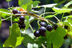 Black currant on a branch Royalty Free Stock Images