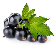 Black currant branch Royalty Free Stock Images