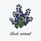 Black currant on a branch Royalty Free Stock Photo