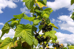Black currant. Branch of black currant with blue sky Royalty Free Stock Photography