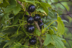 Black currant branch. Branch of black currant on bush royalty free stock photo