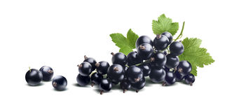 Black currant branch fresh isolated on white background Royalty Free Stock Image