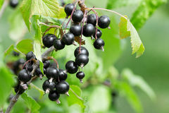 Black currant Royalty Free Stock Images