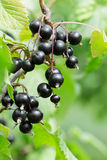 Black currant on a branch Royalty Free Stock Photography