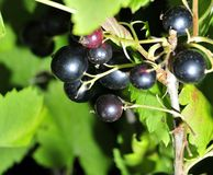 Black currant on a branch in the garden. Black currant on a branch among green leaves Royalty Free Stock Photography