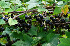 Black currant on a branch in the garden. Black currant growing in the garden on a summer day Stock Image