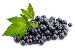 Black currant branch Stock Image