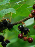 Black currant on a branch Royalty Free Stock Image