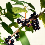 Black currant branch with water drops Stock Image