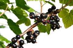Black currant branch with water drops Royalty Free Stock Photography
