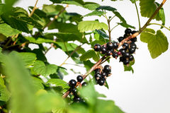 Black currant branch with water drops Royalty Free Stock Image