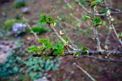 Black currant branches with buds and First leaves ready to open royalty free stock photo