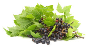 Black currant branches isolated Royalty Free Stock Image
