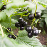Black currant. Bunch of Black currant in garden Royalty Free Stock Photography