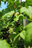 Black currant. On a bush Royalty Free Stock Images