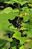 Black currant. On a bush Stock Photography