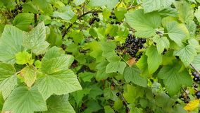 Black currant on a bush. Black currant grows on a bush among lush green foliage. green berries are ripening nearby stock video footage