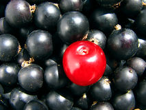 Black currant and cherry as composition contrast Stock Photography