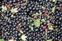 Black currant close-up Stock Photography