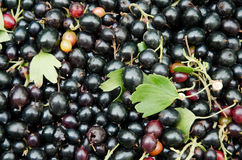 Black currant close-up Royalty Free Stock Images