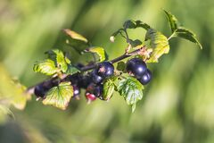 Free Black Currant - Close-up View - Growing On Bush Stock Images - 190650864