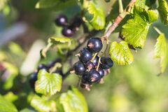 Free Black Currant - Close-up View - Growing On Bush Royalty Free Stock Image - 190651066