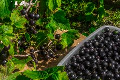 Black currant. Collect berries. Black currant in a container. Currants from the bush. Blackcurrant bush. Garden stock photos