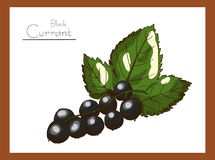 Black Currant colors Royalty Free Stock Images