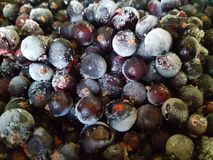 Black currant covered with hoarfrost. Close-up. Frozen berries. Macro stock photography