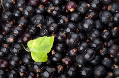 Black currant with drops of water royalty free stock image