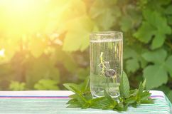 Black currant in a glass of mineral water, mint leaves. In the sunlight Royalty Free Stock Image