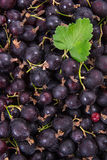 Black currant with green leaf as background. Royalty Free Stock Photo