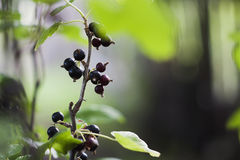 Black currant Stock Photo